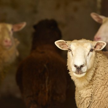 Belgium's Walloon region to end slaughter of animals without pre-stunning