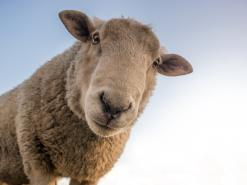 Sheep non-stun slaughter animal welfare